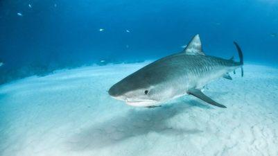 iStock-Tiger-Shark